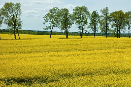 Stock Photo: 1436R-303268 Yellow field of blooming canola in Greater Poland