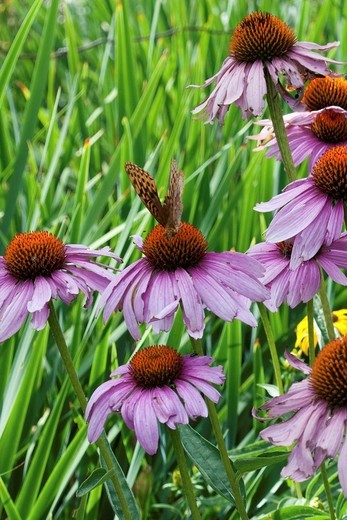 A stand of Purple Coneflowers being visited by an orange and black butterfly : Stock Photo