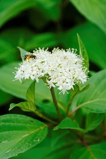 Stock Photo: 1436R-303789 A bee on a Redtwig Dogwood blossom