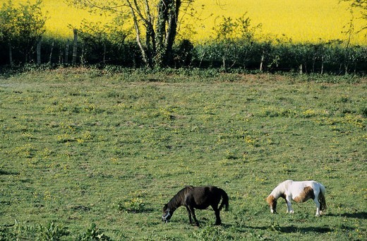 Stock Photo: 1436R-305177 France isere two horses with an oilseed rape field in the background
