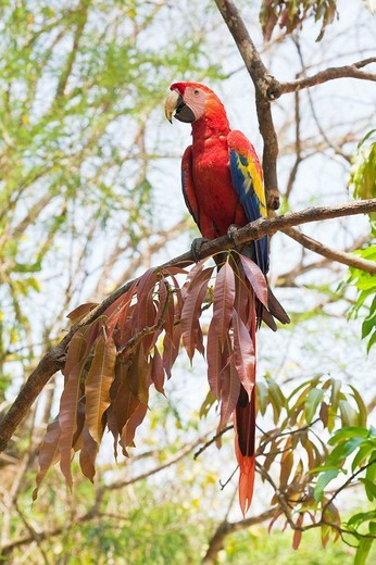 Stock Photo: 1436R-308013 Honduras, Copan Ruinas, Copan Ruins, Scarlet Macaw