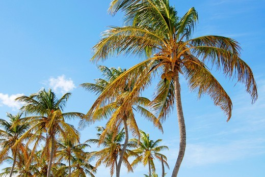 Stock Photo: 1436R-308054 Palm trees and blue sky