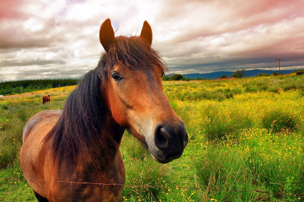 Stock Photo: 1436R-308436 Beautiful horse on Scottish meadow