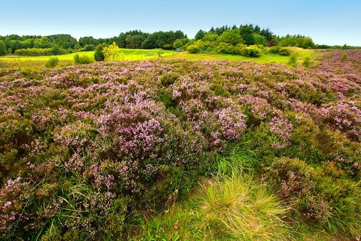 Fields of heather in Scotland : Stock Photo