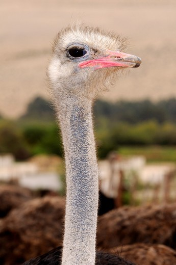 Portrait of male Ostrich, Struthio camelus, Ostrich farm, Alexander Bay, Namaqualand, South Africa : Stock Photo