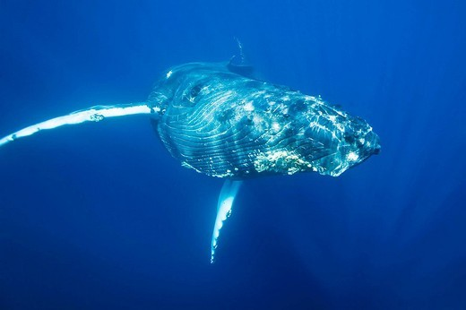 Curious humpback whale Megaptera novaeangliae approaches the boat underwater in the AuAu Channel between the islands of Maui and Lanai, Hawaii, USA  Each year humpback whales return to these waters in the winter and spring to mate and give birth to thei : Stock Photo