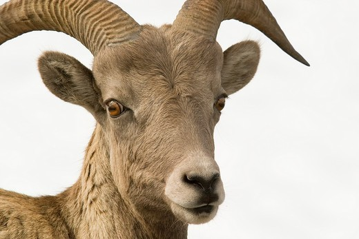 Stock Photo: 1436R-311467 rocky moutnains sheep head shot
