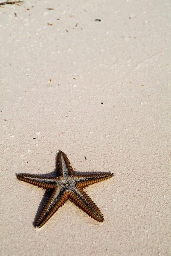 Starfish partially buried in white sand, Cayo Jutias, Cuba. : Stock Photo