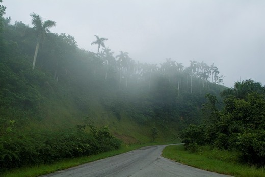 Mist falling over coconut trees beside a road between Soroa and Las Terrazas, Cuba. : Stock Photo
