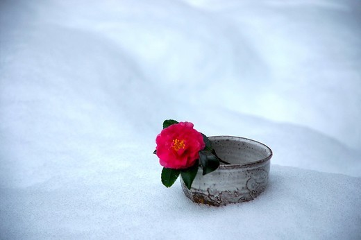 Stock Photo: 1436R-319895 Single camellia in a cup