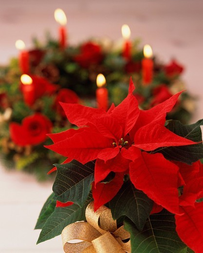 Poinsettia, close_up : Stock Photo