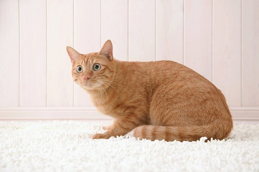 Mixed breed cat sitting : Stock Photo