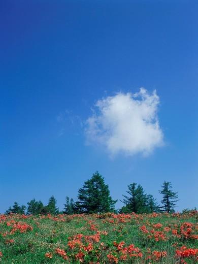 Stock Photo: 1436R-322874 Japanese azalea growing in field