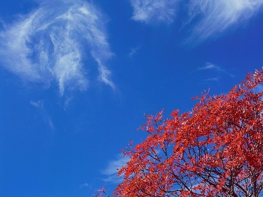 Stock Photo: 1436R-323308 Rowan tree in Gunma Prefecture, Japan