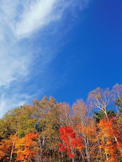 Maple trees, Shiga Plateau, Nagano Prefecture, Japan : Stock Photo