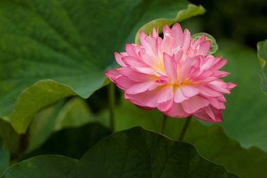 Stock Photo: 1436R-324933 Lotus flower