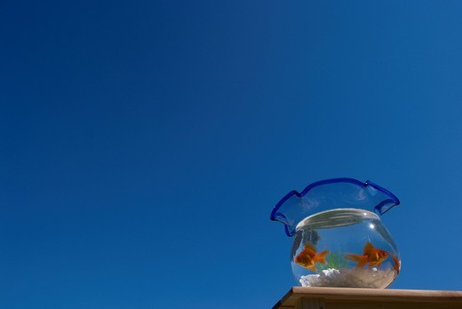 Goldfish in fishbowl : Stock Photo