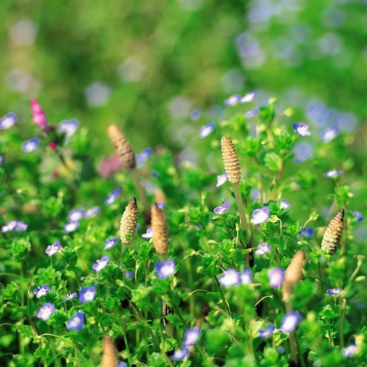 Horsetails and purple flowers : Stock Photo