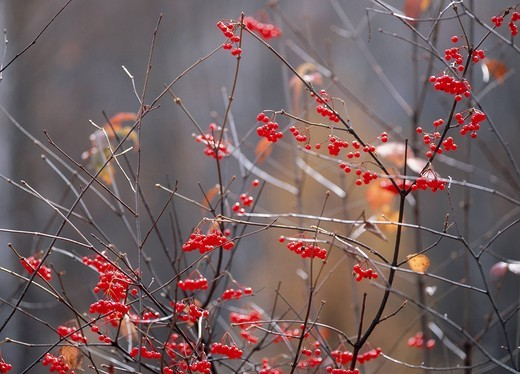 Stock Photo: 1436R-339398 Red Berry Branch, Nagano, Japan