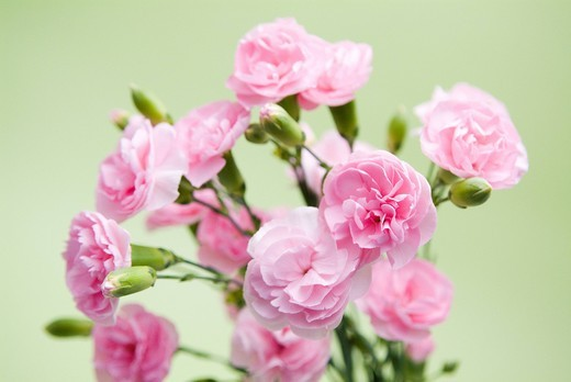 Stock Photo: 1436R-340572 Pink carnations