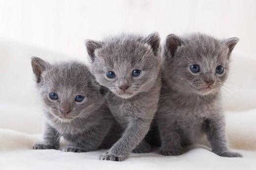 Stock Photo: 1436R-342761 Three chartreux sitting on a blanket