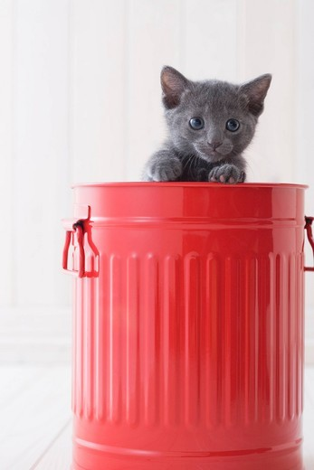 Stock Photo: 1436R-342802 Russian blue in a bucket