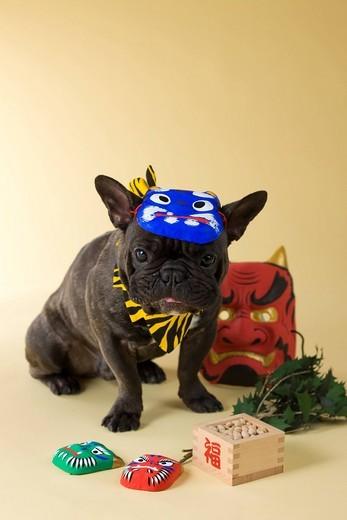 French Bulldog Puppy and Setsubun : Stock Photo