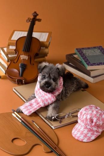 Miniature Schnauzer Puppy and Art : Stock Photo