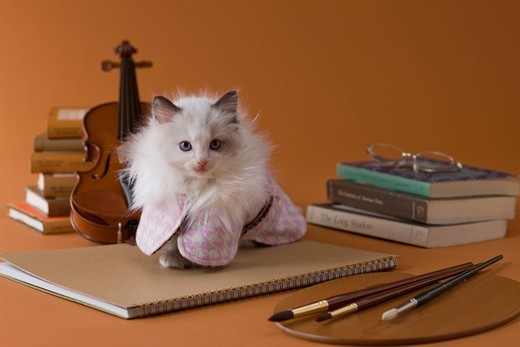Rag Doll Kitten and Art : Stock Photo