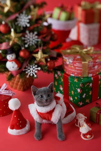 Stock Photo: 1436R-348420 Russian Blue Kitten and Christmas