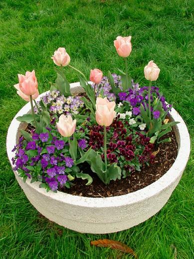 Stock Photo: 1436R-349865 Tulips (Tulipa hybr.) and Pansies (Viola sp.)