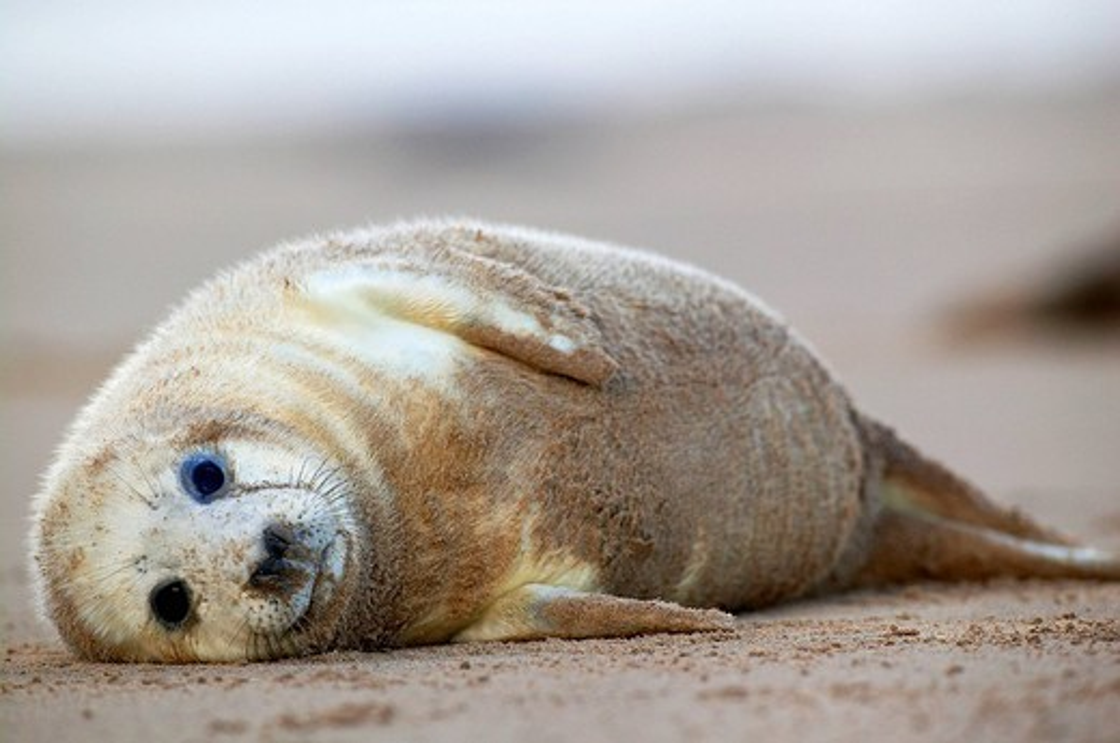 Stock Photo: 1436R-353706 Grey Seal (Halichoerus grypus)