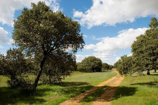 La Vizana cattle crossing, Riego del Camino. Zamora province, Castilla-León, Spain : Stock Photo