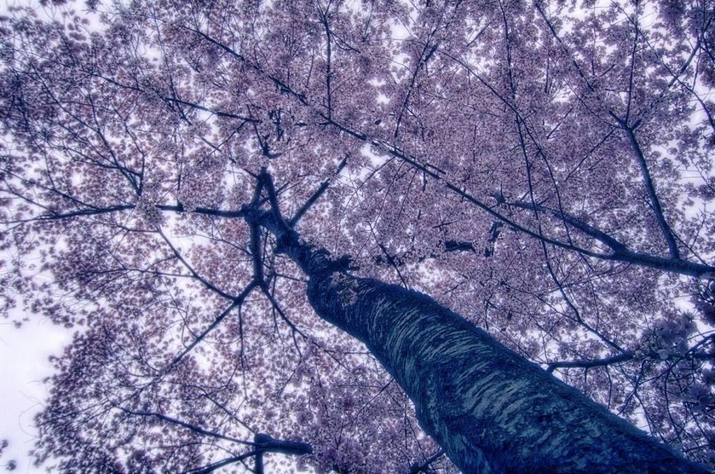 Cherry Blossom. Prunus serrulata , April 2006. Maryland, USA. : Stock Photo