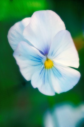 Pansy Flower. Viola x wittrockiana. : Stock Photo