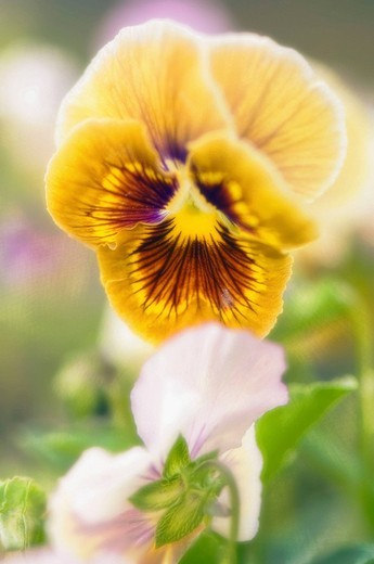 Pansies. Viola x wittrockiana. July 2006. Maryland, USA : Stock Photo