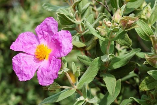 Rock Rose (Cistus albidus) : Stock Photo