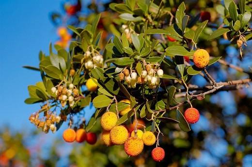 Stock Photo: 1436R-358930 Strawberry tree (Arbutus unedo). Sierra de San Pedro, Caceres province. Extremadura. Spain