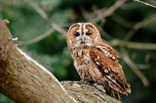 Tawny Owl (Strix aluco) : Stock Photo