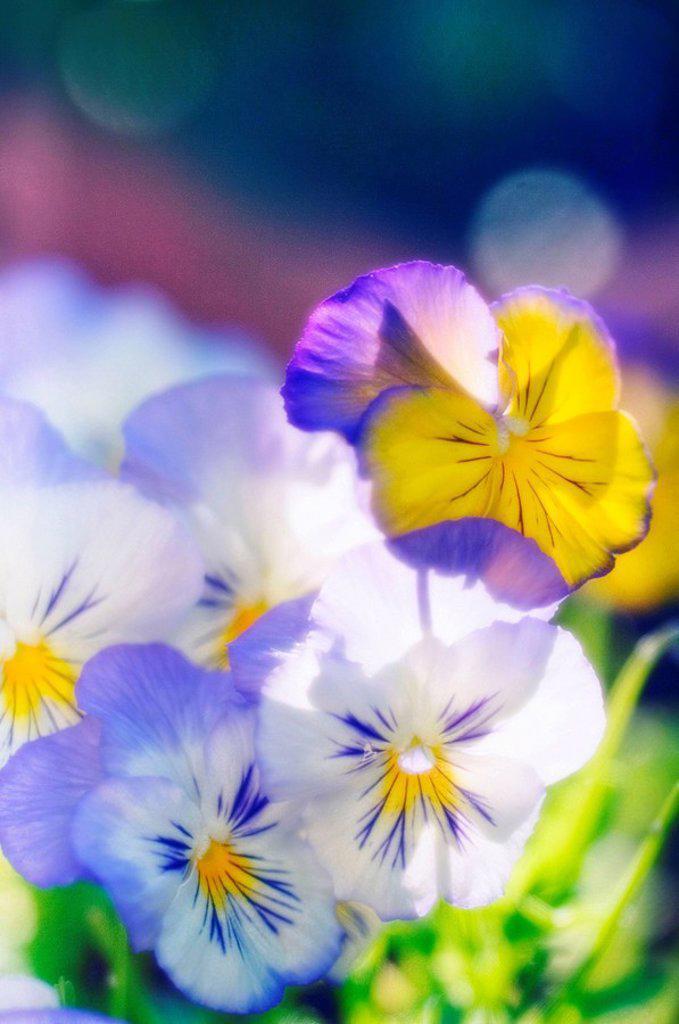 Pansies. Viola x wittrockiana. May 2006, Maryland, USA : Stock Photo