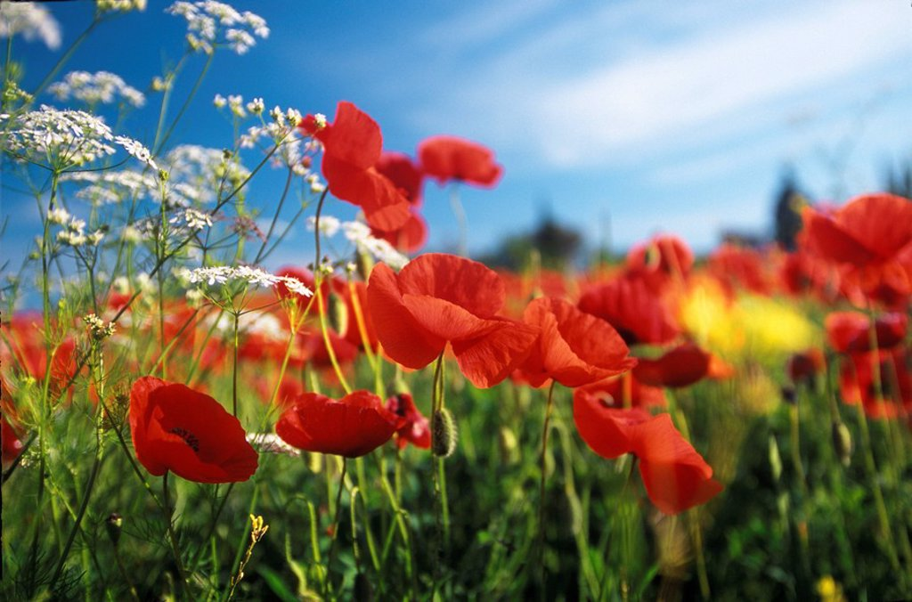 Common Poppies (Papaver rhoeas), Siena province, Tuscany, Italy : Stock Photo