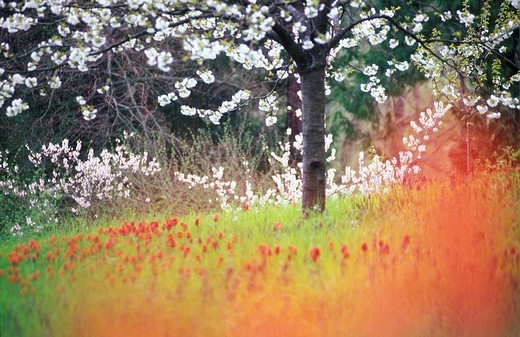 Meadow with Tulips next blooming Cherry Tree, Isle of Mainau, Lake Constance, Germany : Stock Photo
