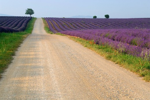 Path through Lavender field (Lavandula), Plateau de Valensole, Puimoisson, Provence, France : Stock Photo
