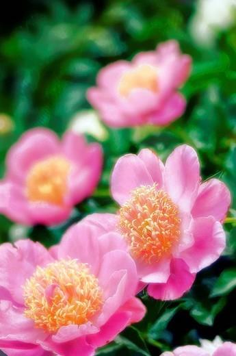 Pink Peony Blossom. Paeonia lactiflora. May 2007, Maryland, USA : Stock Photo