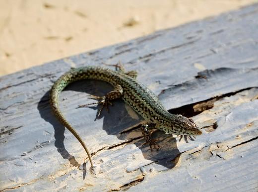 Lizard : Stock Photo