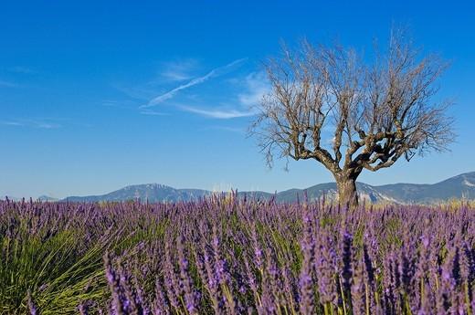 Stock Photo: 1436R-362505 Lavender field in full blossom at Plateau de Valensole, Alpes-de-Haute-Provence, Provence-Alpes-Côte d´Azur, France
