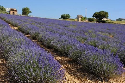 Stock Photo: 1436R-362510 Lavender field in full blossom at Plateau de Valensole, Alpes-de-Haute-Provence, Provence-Alpes-Côte d´Azur, France