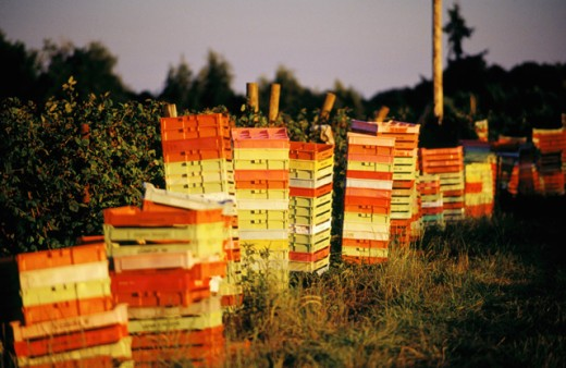 Picking crates next to Marion Berry crop : Stock Photo