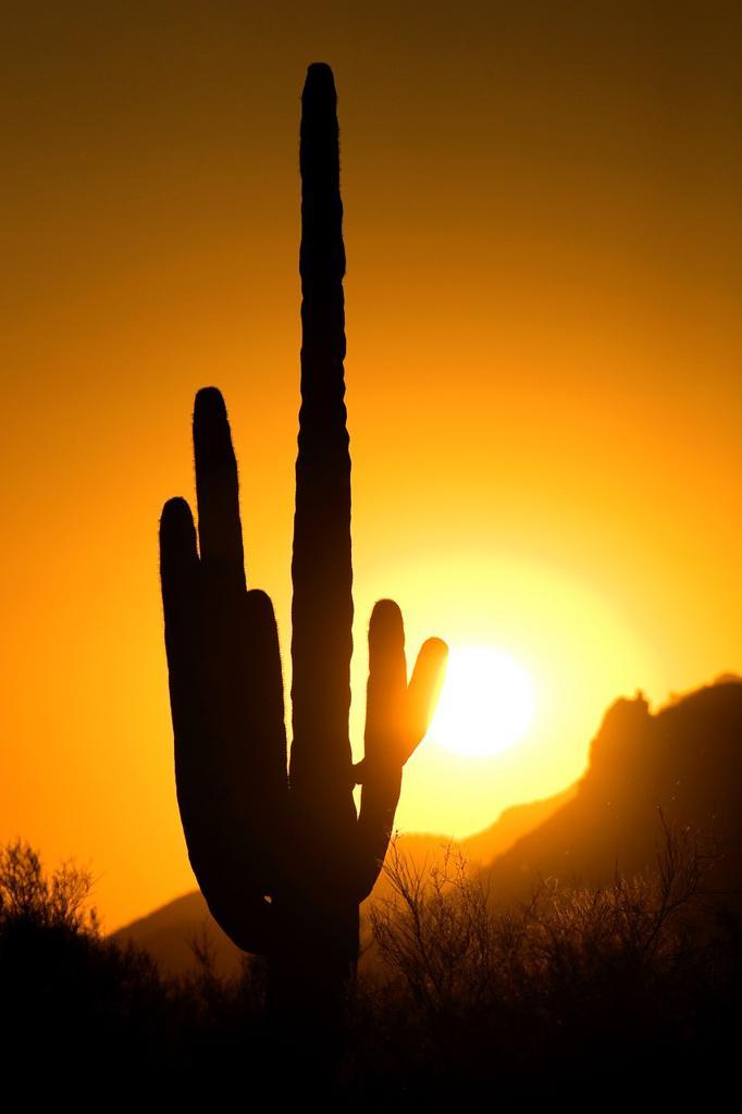 Stock Photo: 1436R-425466 Saguaro Cactus at sunset - Lost Dutchman State Park - Apache Junction, Arizona