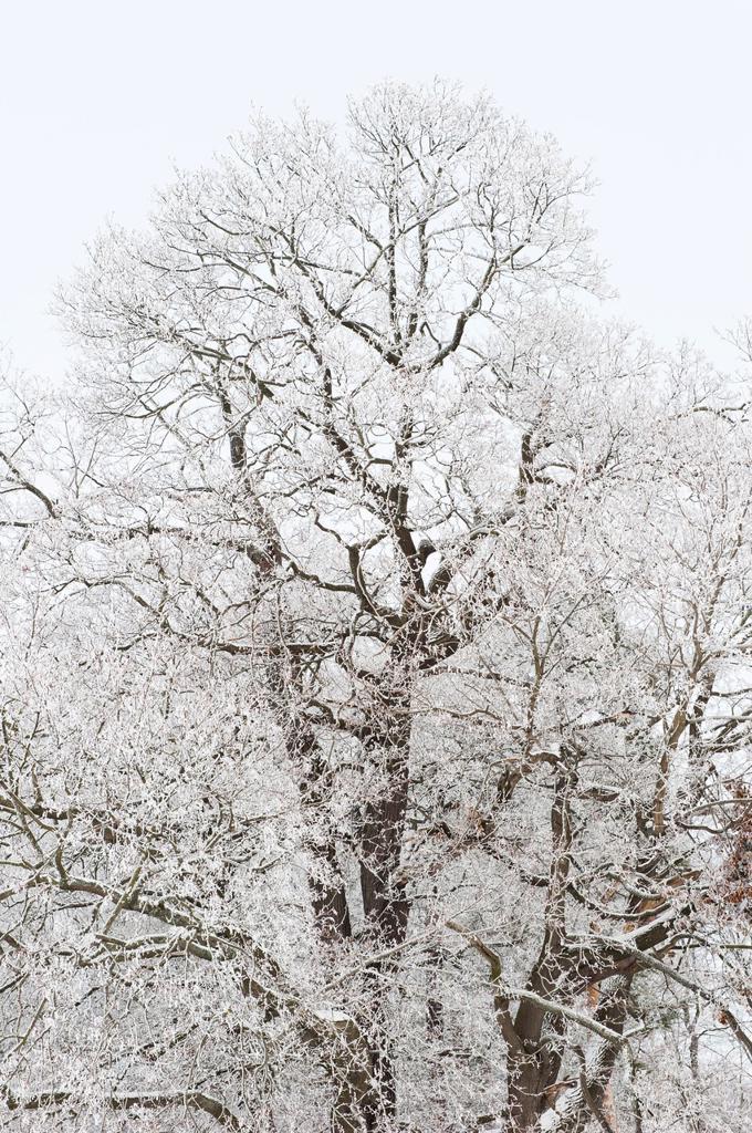 Frosty tree, Sweden : Stock Photo